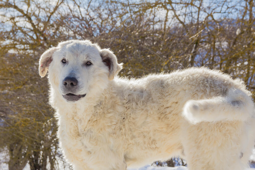 Maremma Sheepdog Dogs Breed Information Omlet