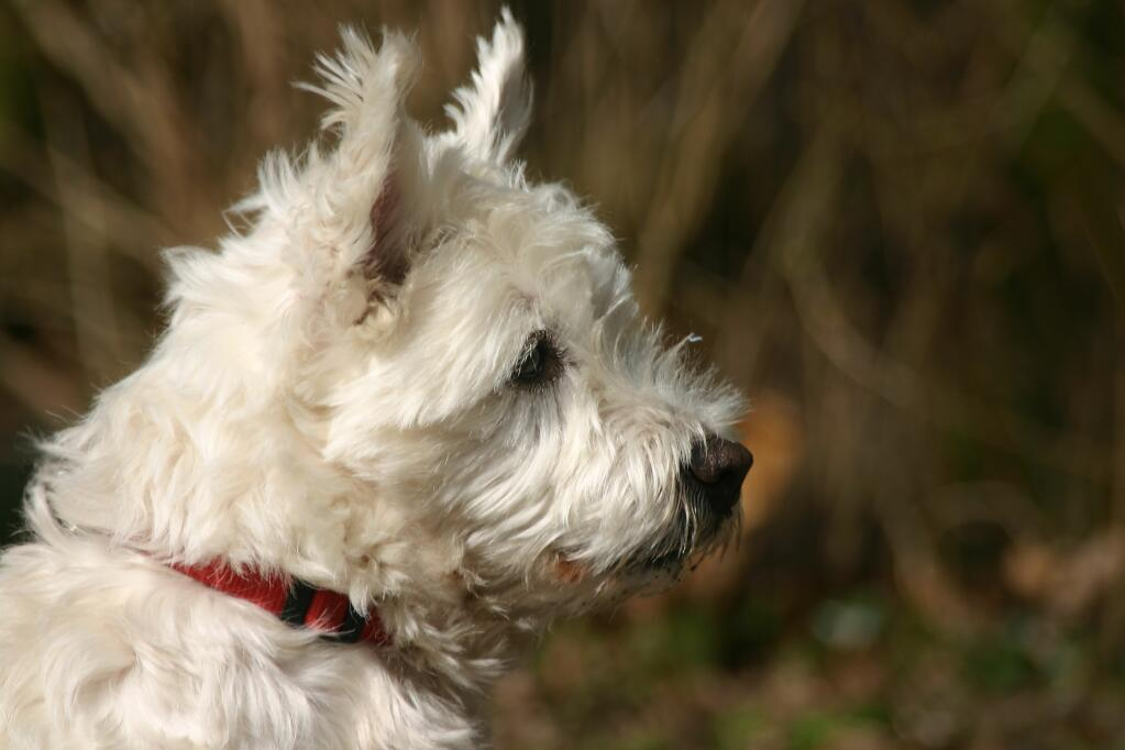 Norwich Terrier Dogs Breed Information Omlet