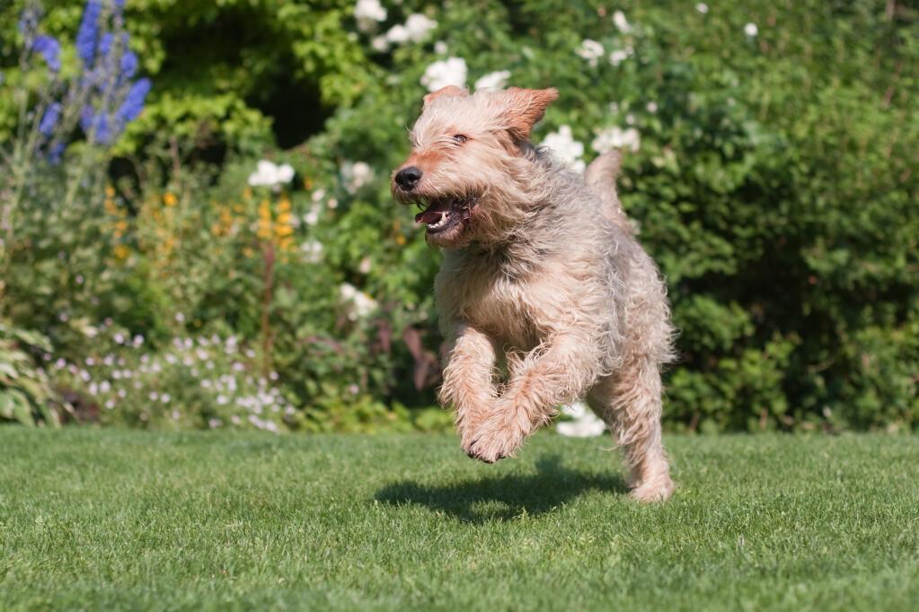 Otterhound | Dogs | Br...