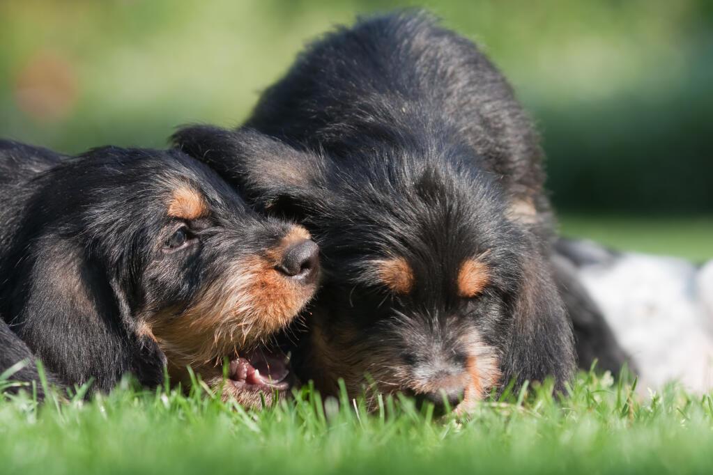 Otterhound Dogs Breed Information Omlet