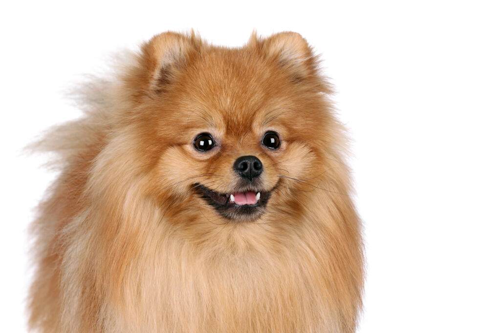 Pomeranian | Dogs | Breed Information | Omlet