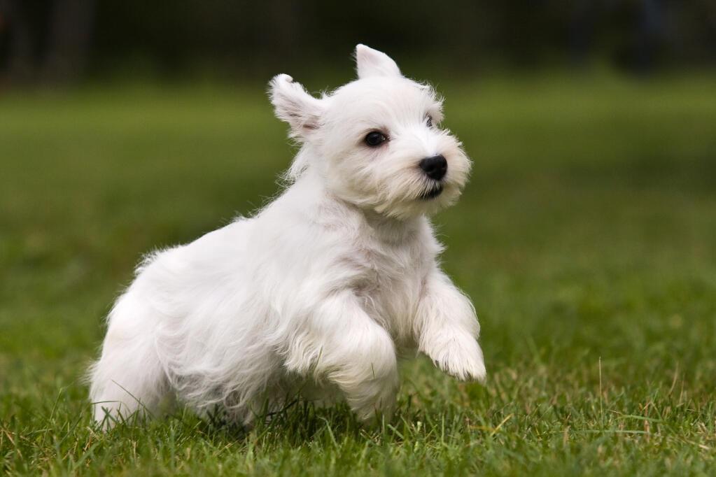 Sealyham Terrier | Dog...