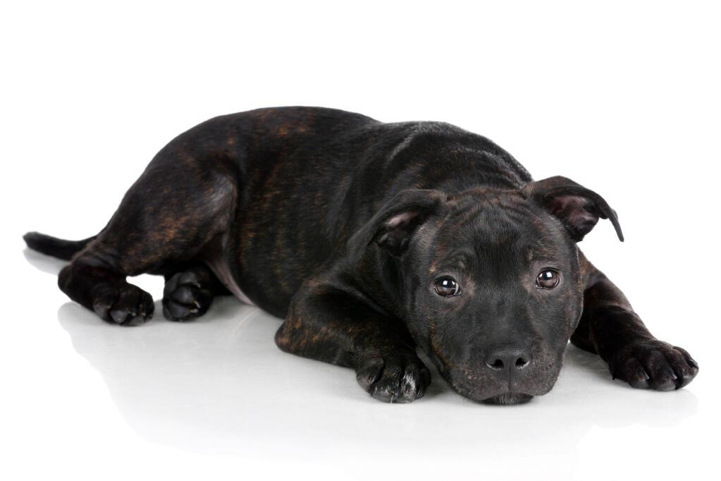 staffordshire bull terrier information pictures of tattoo design bild. Black Bedroom Furniture Sets. Home Design Ideas
