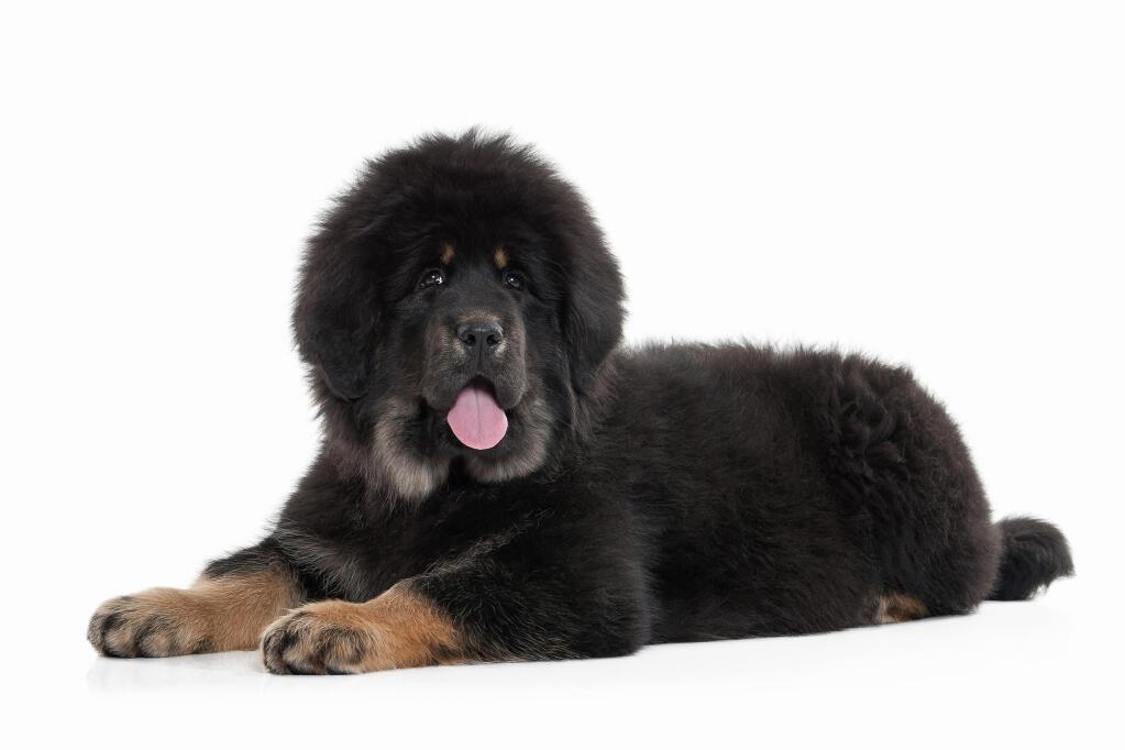 Tibetan Mastiff | Dogs | Breed Information | Omlet