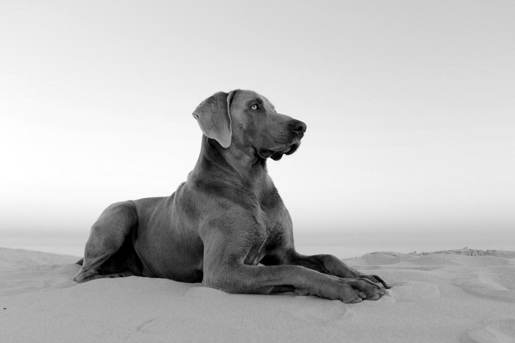 Weimaraner Dogs Breed Information Omlet