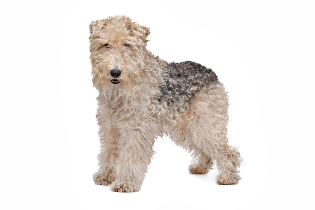 big terrier fox terrier wire dogs breed information omlet 4999