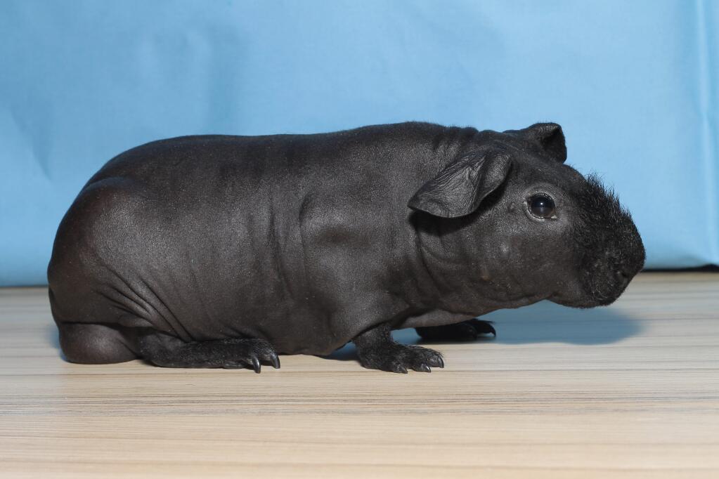 Skinny Pig For Sale Guinea Pigs Breed Information Omlet