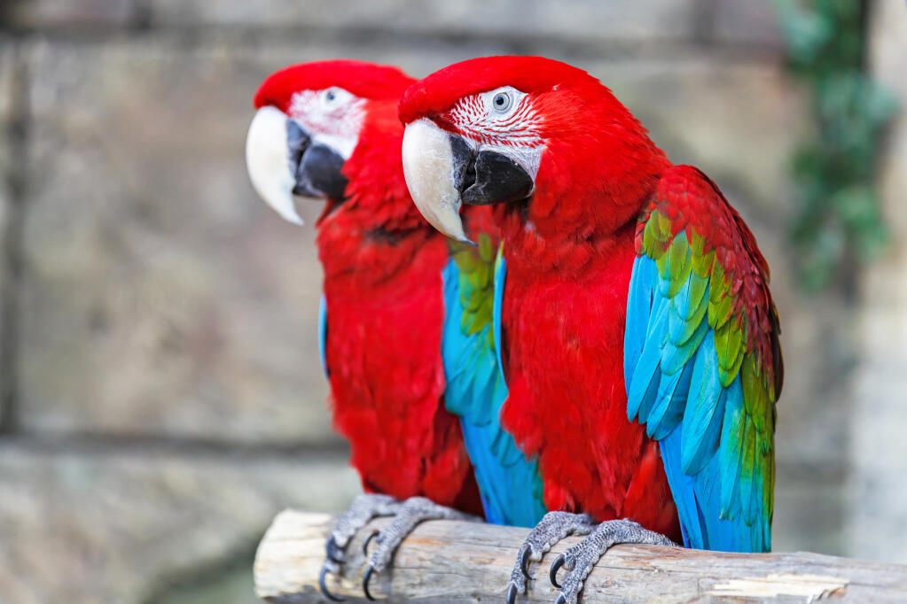Red And Blue Macaw Parrots Breed Information Omlet