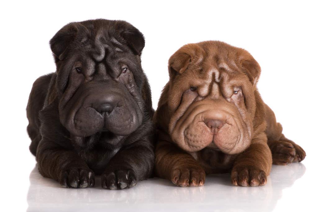 Shar Pei Dog Breed Black