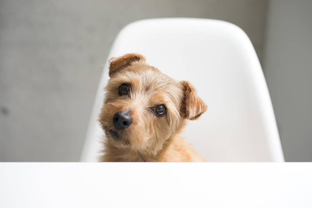 Norfolk Terrier | Dogs | Breed Information | Omlet