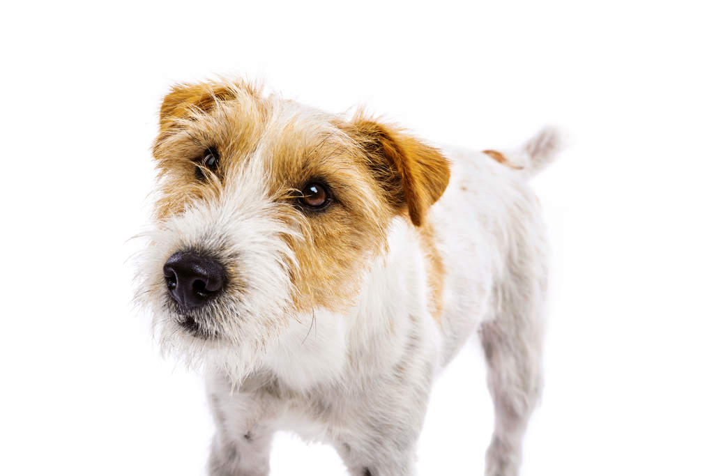 parson russell terrier dogs breed information omlet. Black Bedroom Furniture Sets. Home Design Ideas