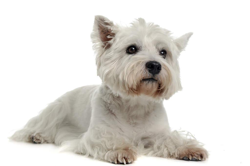West Highland Terrier Brown West Highland Te...