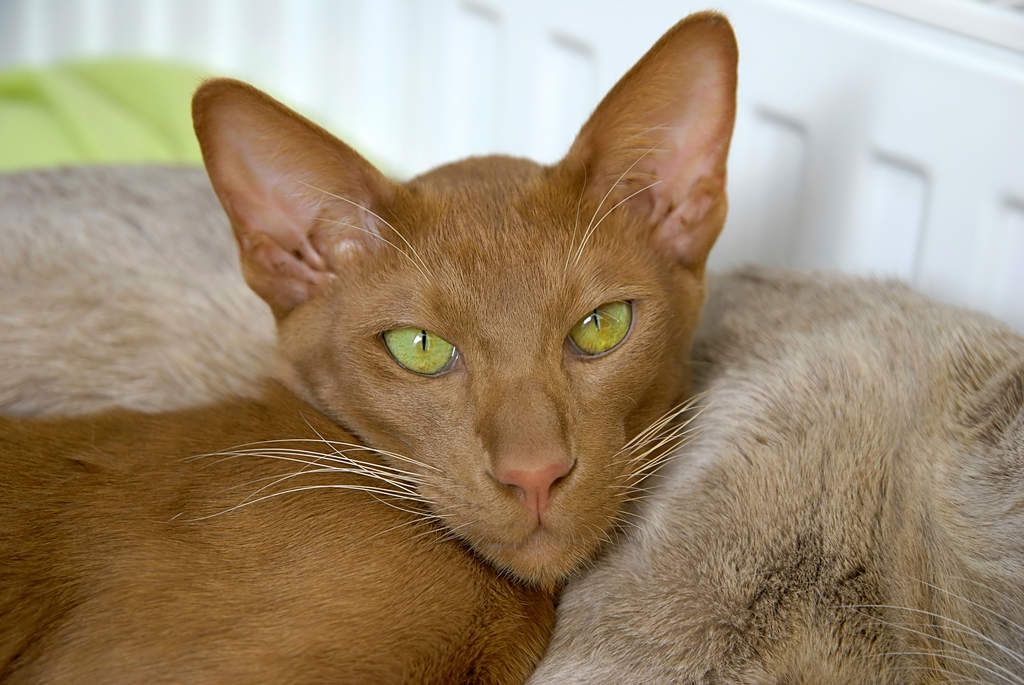 Oriental Cinnamon And Fawn Cats Breed Information
