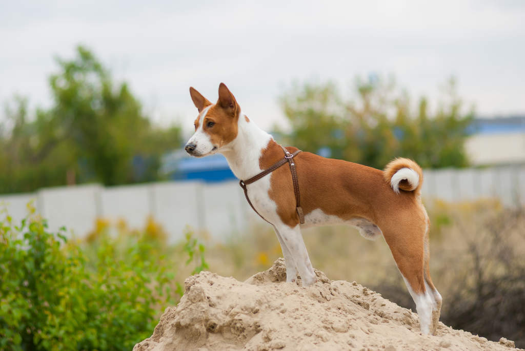 Basenji Dogs Breed Information Omlet
