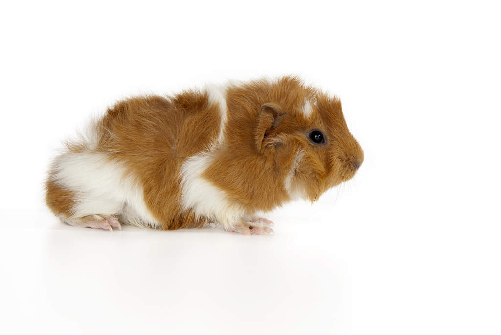 abyssinian for sale guinea pigs breed information omlet