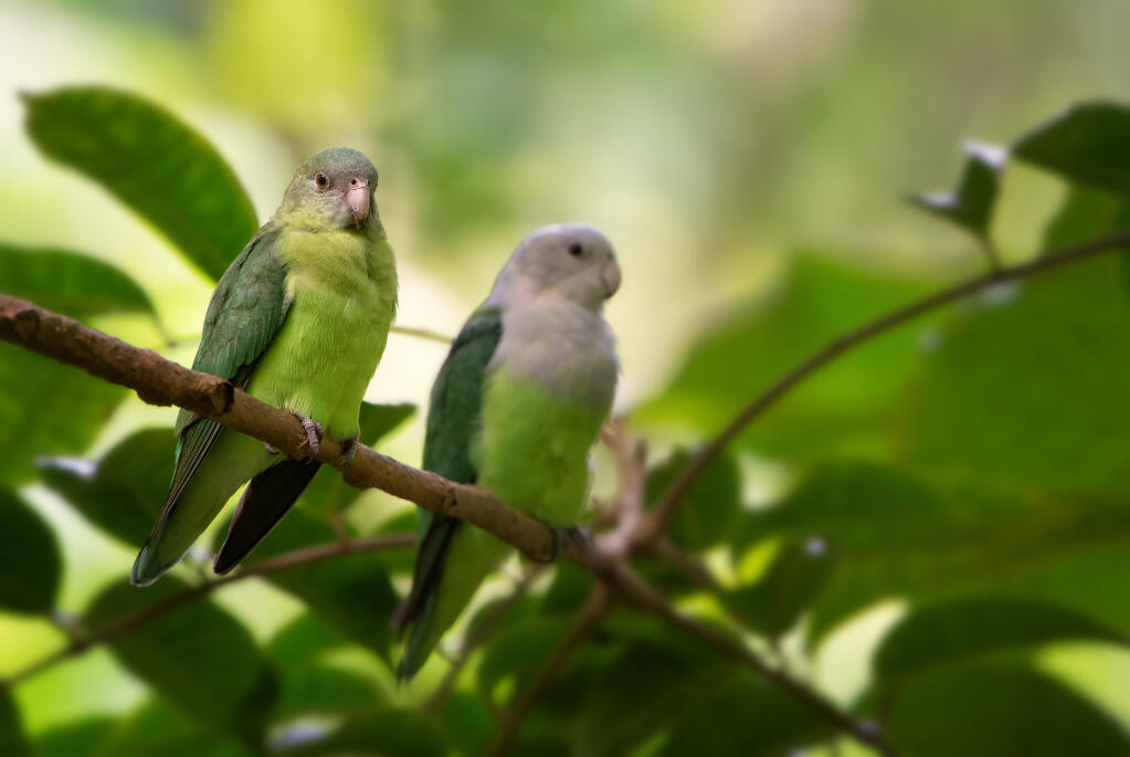 Grey Headed Lovebird F...