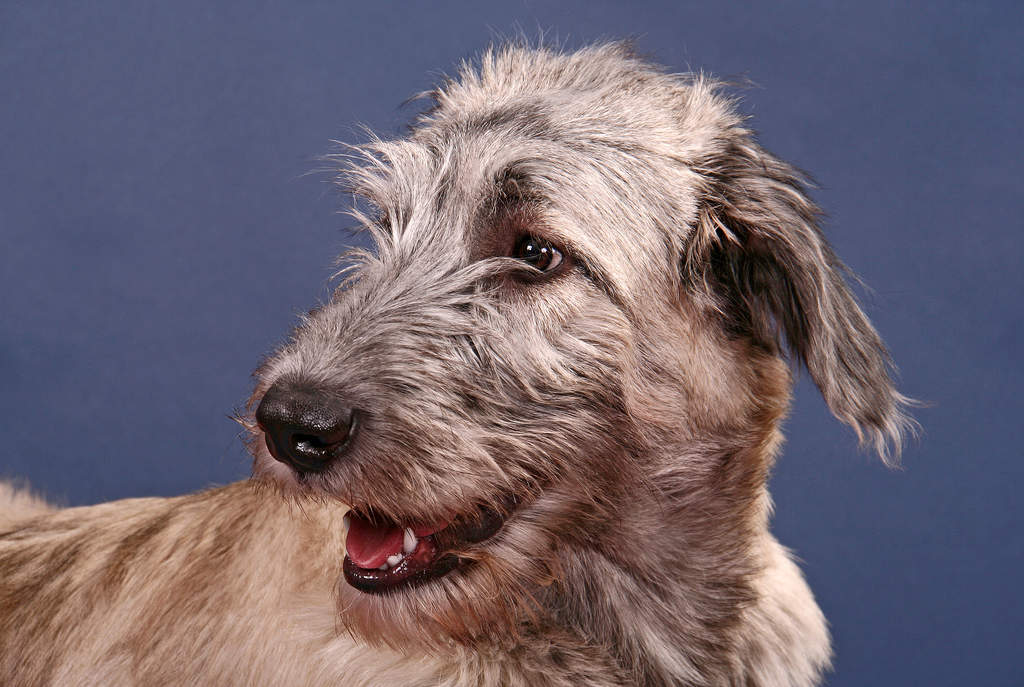 Irish Wolfhound Dogs Breed Information Omlet