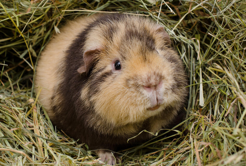 Teddy For Sale Guinea Pigs Breed Information Omlet