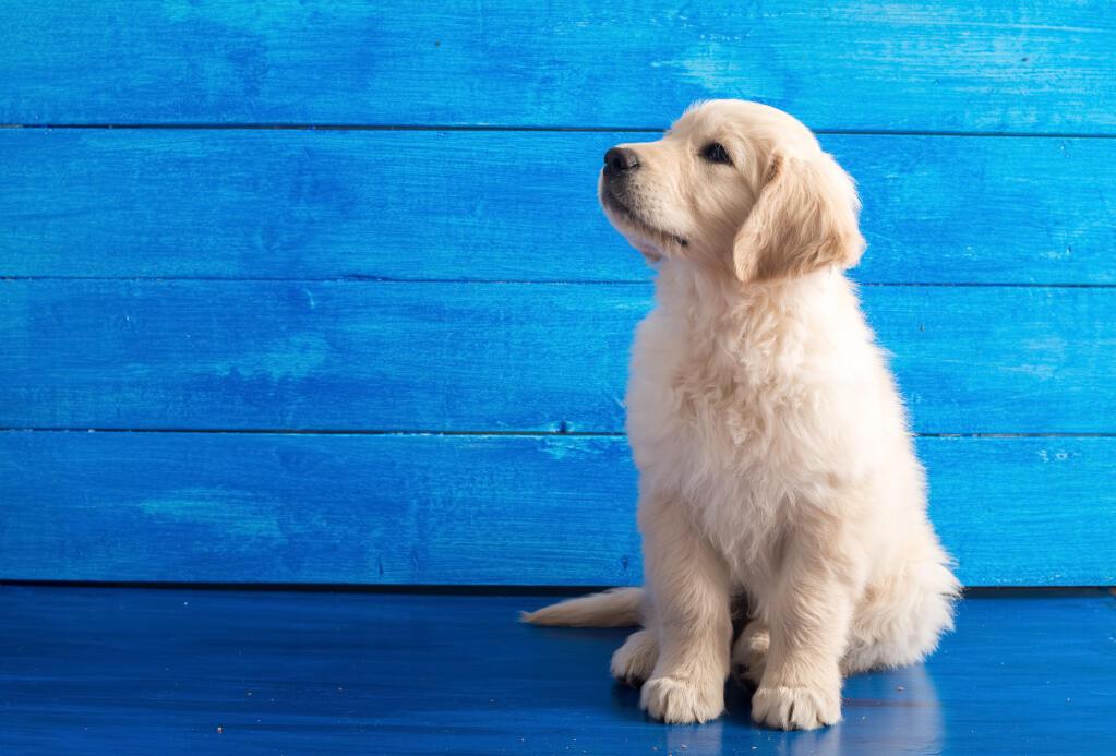 Golden retriever dogs breed information omlet for Golden retriever puppies information
