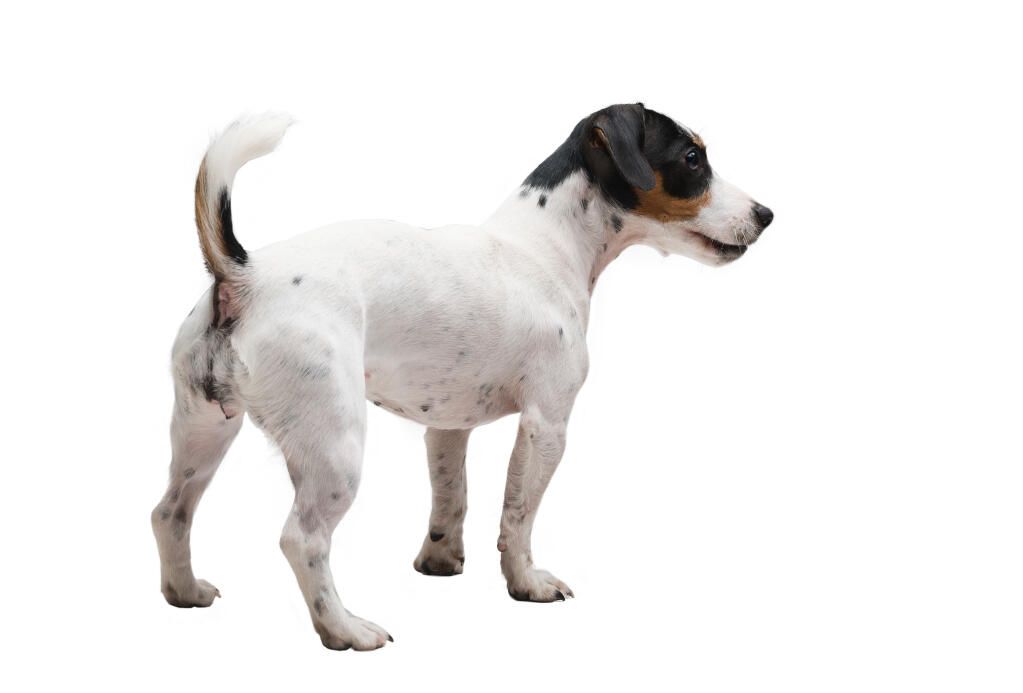 Jack Russell Terrier | Dogs | Breed Information | Omlet