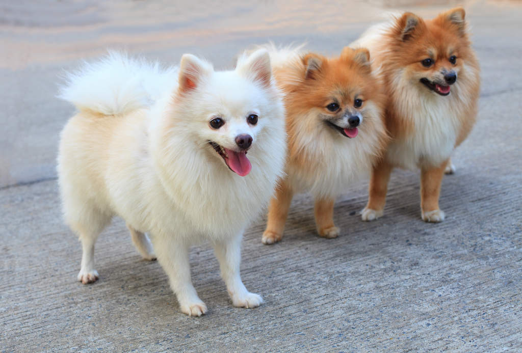 Haircuts For Pomeranian Dogs | newhairstylesformen2014.com