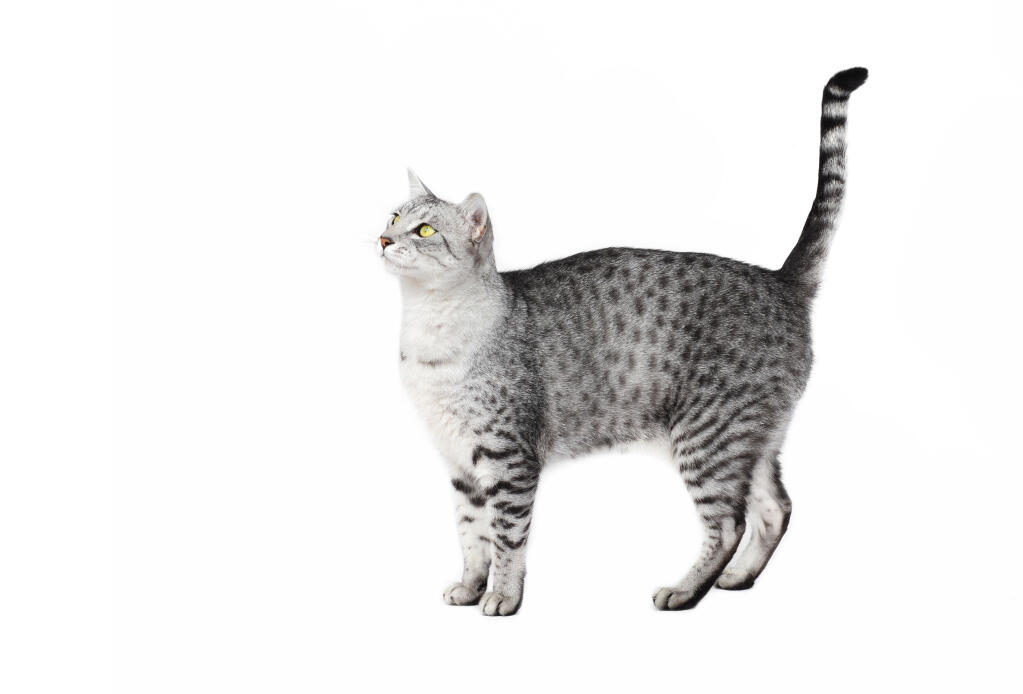 warrior cat template