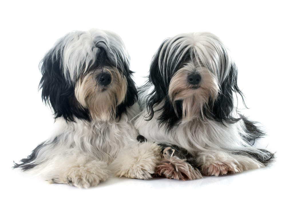 Tibetan Terrier Dogs Breed Information Omlet