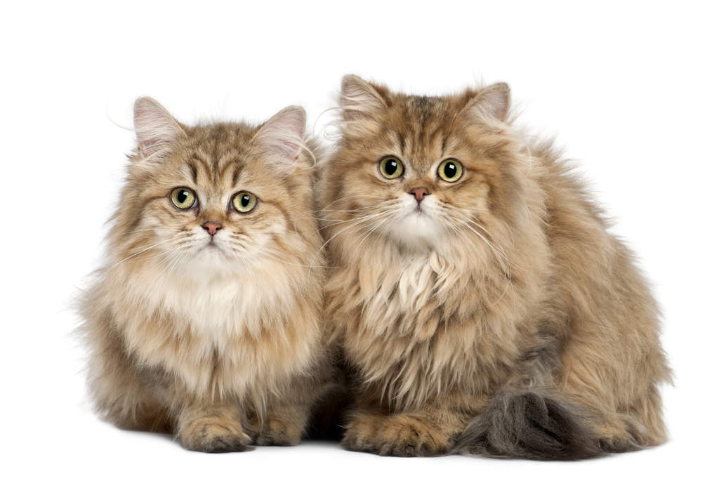 British Longhair | Cats | Breed Information | Omlet