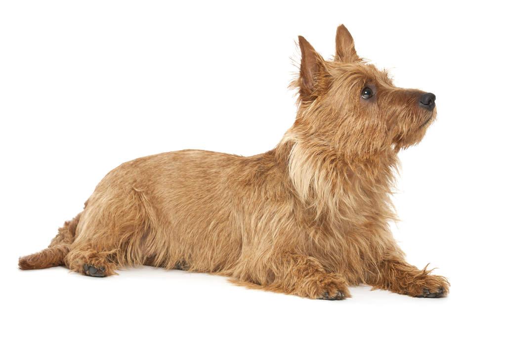 Australian Terrier | D...