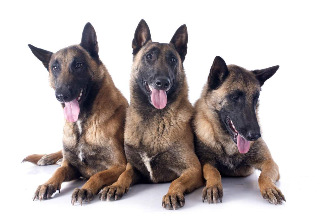 Belgian Shepherd Dog (Malinois) | Dogs | Breed Information