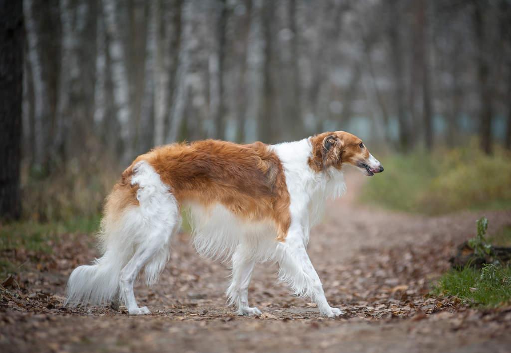 A Borzoi Dog Borzoi | Dogs |...