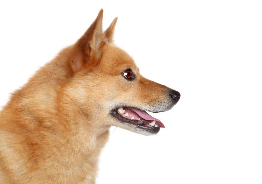 English Springer Spaniel Hunting Finnish Spitz | Dogs |...