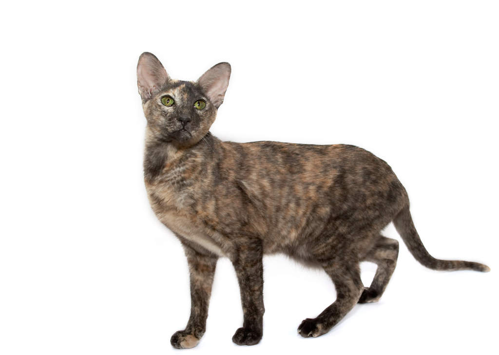 Oriental Tortie Cats Breed Information Omlet