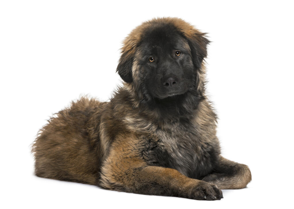 Leonberger Dogs Breed Information Omlet
