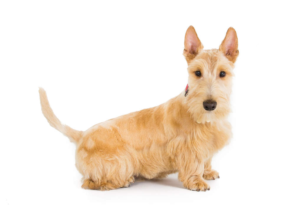 Scottish Terrier Dogs Breed Information Omlet