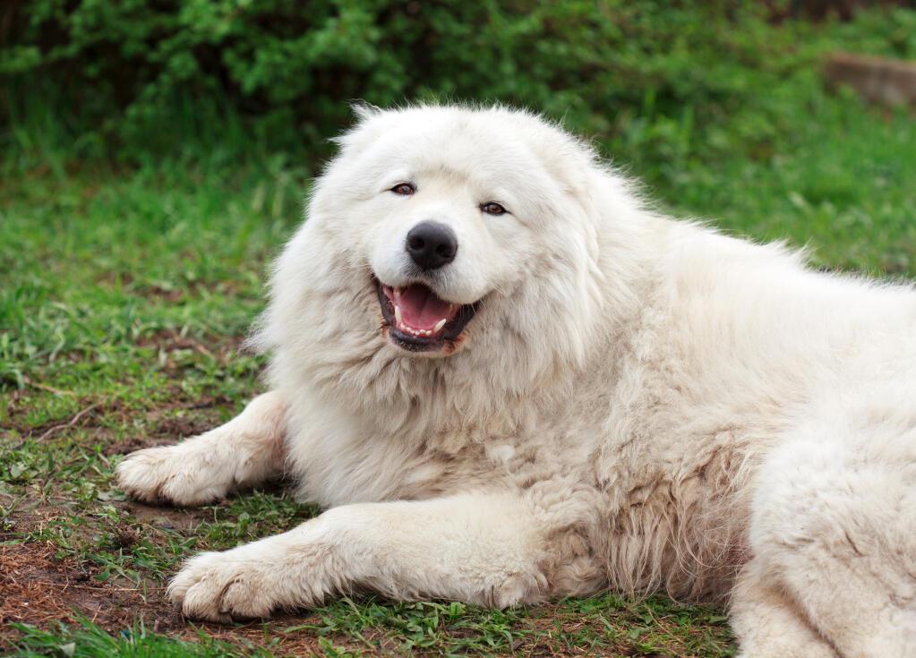 Giant Bull Mastiff Maremma Sheepdog   Dog...