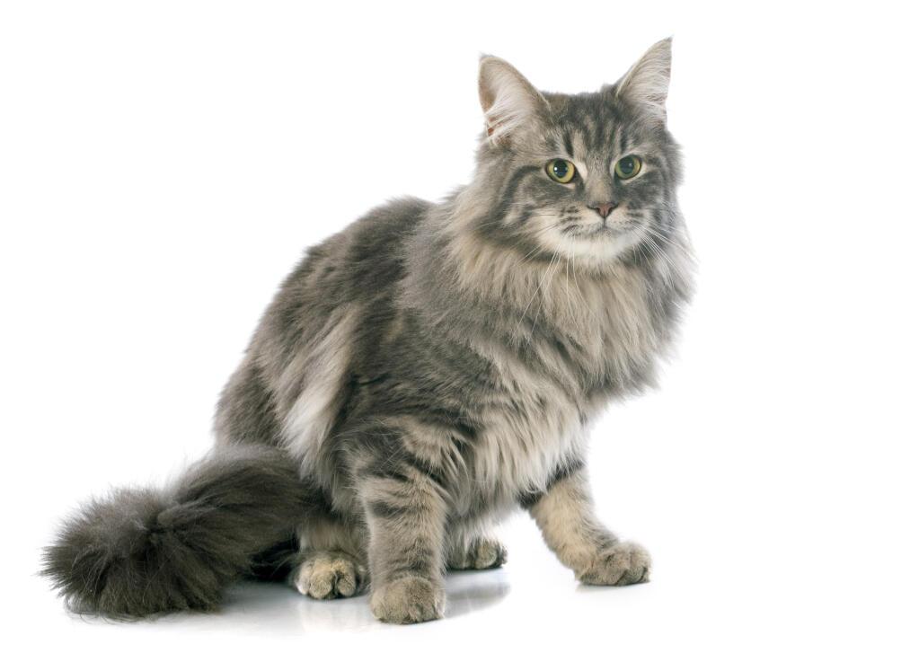 Turkish Angora Cats Breed Information Omlet