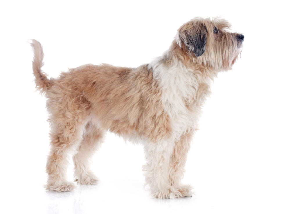 Dog Owners Guide profile Wheaten Terrier  Canis Major