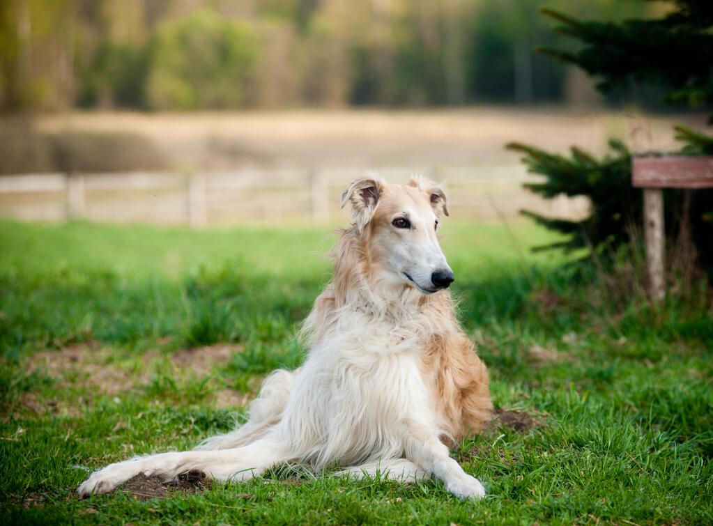 Borzoi Dogs Breed Information Omlet
