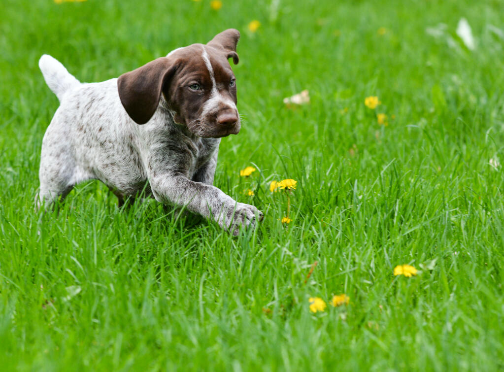 Dog-German_short_haired_pointer-A_gorgous_German_short_haired_pointer ...