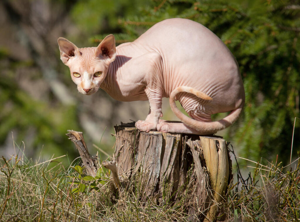 Sphynx Cats Breed Information Omlet
