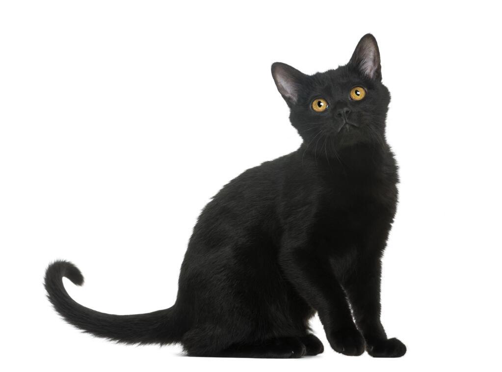 Bombay Cats Breed Information Omlet