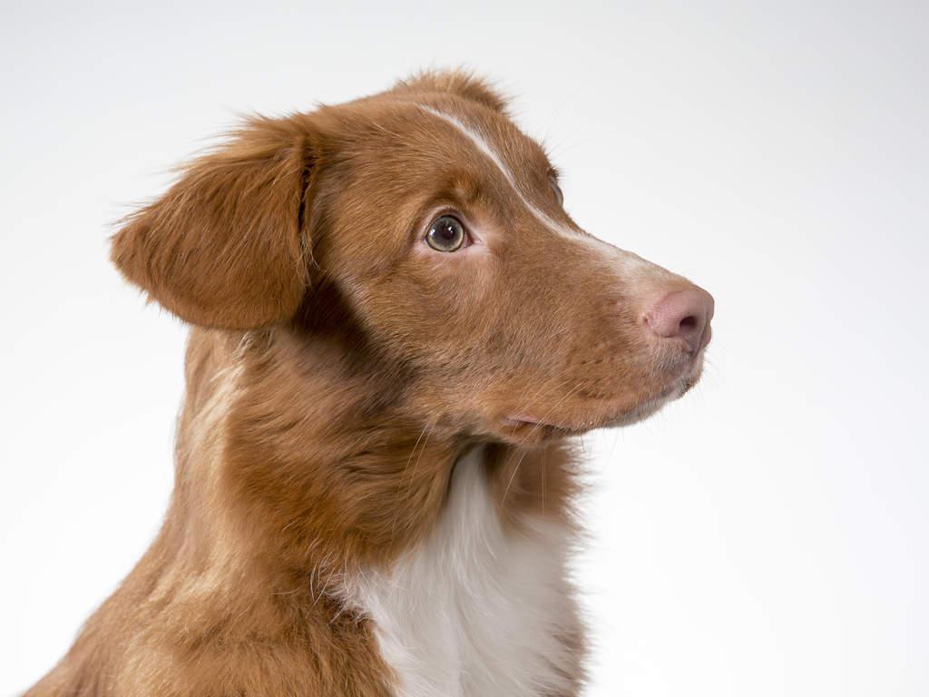 Nova Scotia Duck Tolling Retriever | Dogs | Breed ...