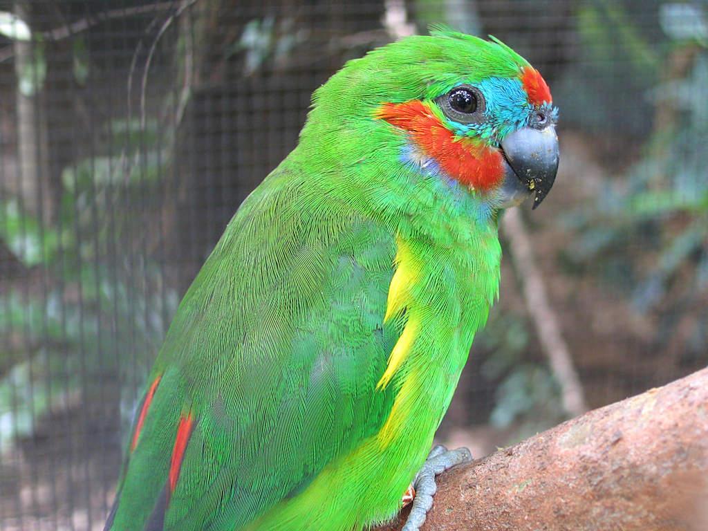 Parrot 4 sale