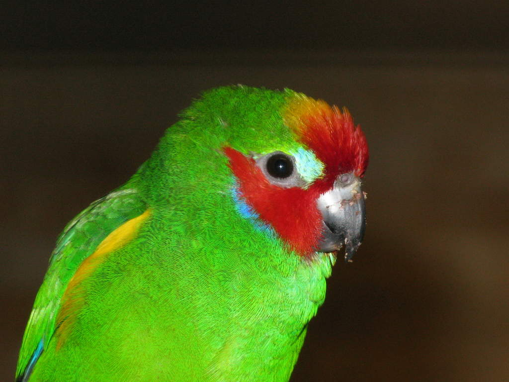 Double Eyed Fig Parrot...