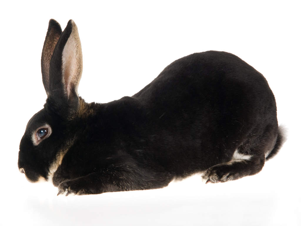 Rex For Sale | Rabbits...