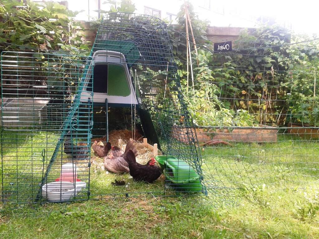 Eglu Go Up and Chicken Fencing
