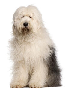 A shorter coated grey and white Old English Sheepdog sitting neatly