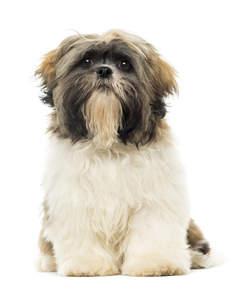 shih tzu dogs breed information omlet