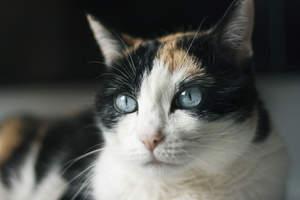 Himalayan Cat Cornflower Blue Eyes